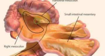 How Well Do You Know Your Organs? The Mesentery Is Now Classified As Organ That Requires Further Study