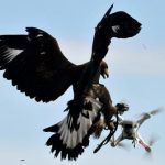 The French Military Is Training Eagles To Down Enemy Drones - AFP