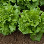 Space Grown Lettuce Just As Safe Earth Grown Says NASA Marking A New Food Era In Space